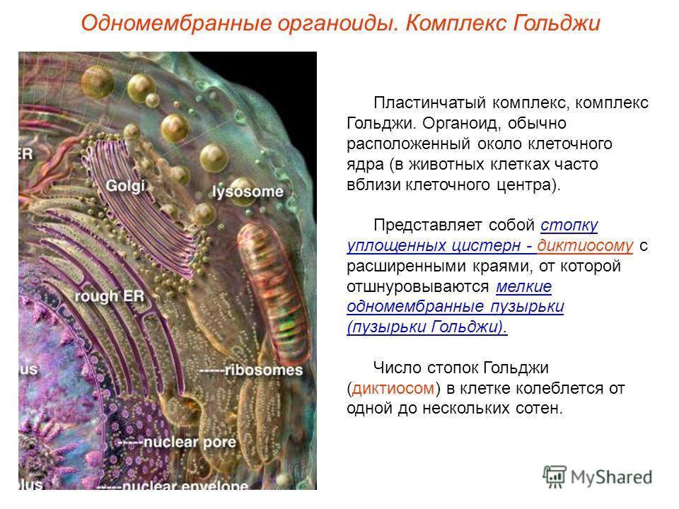 Пластинчатый комплекс, комплекс Гольджи. Органоид, обычно расположенный около клеточного ядра (в животных клетках часто вблизи клеточного центра). Представляет собой стопку уплощенных цистерн - диктиосому с расширенными краями, от которой отшнуровыва