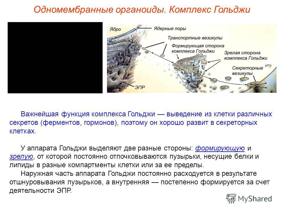 Важнейшая функция комплекса Гольджи выведение из клетки различных секретов (ферментов, гормонов), поэтому он хорошо развит в секреторных клетках. У аппарата Гольджи выделяют две разные стороны: формирующую и зрелую, от которой постоянно отпочковывают