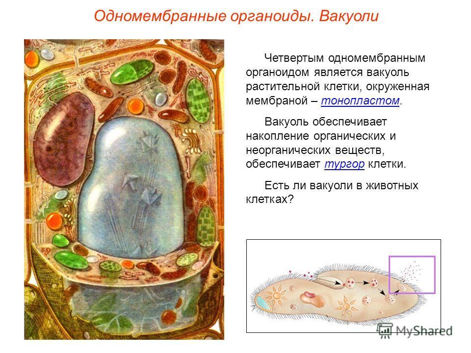 Четвертым одномембранным органоидом является вакуоль растительной клетки, окруженная мембраной – тонопластом. Вакуоль обеспечивает накопление органических и неорганических веществ, обеспечивает тургор клетки. Есть ли вакуоли в животных клетках? Одном