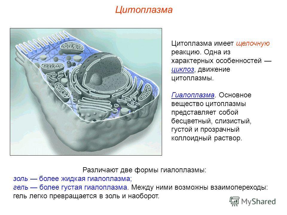 Цитоплазма имеет щелочную реакцию. Одна из характерных особенностей циклоз, движение цитоплазмы. Гиалоплазма. Основное вещество цитоплазмы представляет собой бесцветный, слизистый, густой и прозрачный коллоидный раствор. Цитоплазма Различают две форм