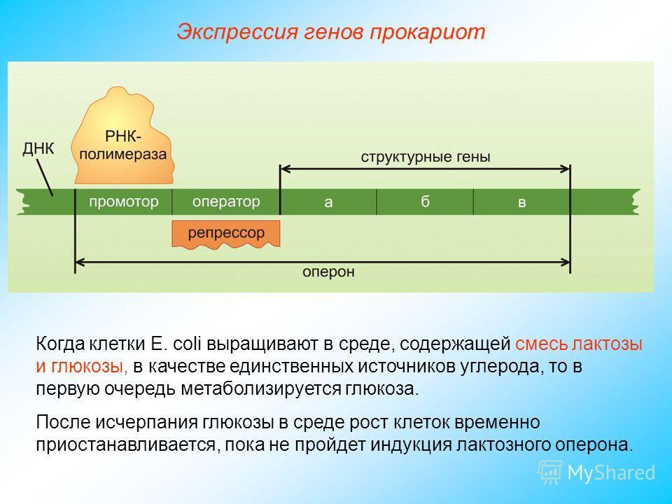 Когда клетки Е. coli выращивают в среде, содержащей смесь лактозы и глюкозы, в качестве единственных источников углерода, то в первую очередь метаболизируется глюкоза. После исчерпания глюкозы в среде рост клеток временно приостанавливается, пока не