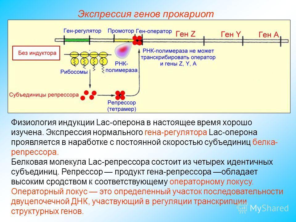 Физиология индукции Lac-оперона в настоящее время хорошо изучена. Экспрессия нормального гена-регулятора Lac-оперона проявляется в наработке с постоянной скоростью субъединиц белка- penpeccopa. Белковая молекула Lac-репрессора состоит из четырех иден
