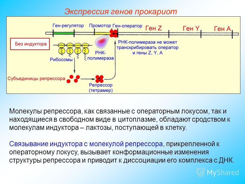 Молекулы репрессора, как связанные с операторным локусом, так и находящиеся в свободном виде в цитоплазме, обладают сродством к молекулам индуктора – лактозы, поступающей в клетку. Связывание индуктора с молекулой репрессора, прикрепленной к оператор