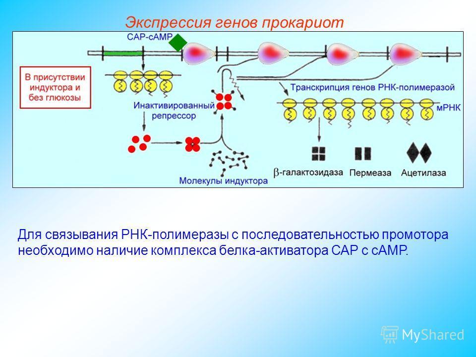 Для связывания РНК-полимеразы с последовательностью промотора необходимо наличие комплекса белка-активатора САР с сАМР. Экспрессия генов прокариот