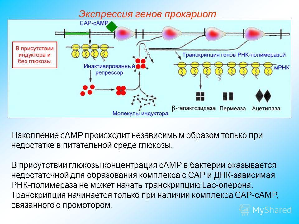 Накопление сАМР происходит независимым образом только при недостатке в питательной среде глюкозы. В присутствии глюкозы концентрация сАМР в бактерии оказывается недостаточной для образования комплекса с САР и ДНК-зависимая РНК-полимераза не может нач