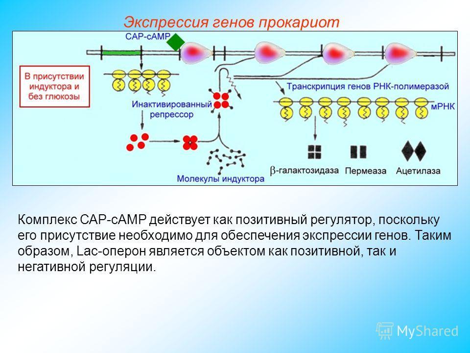 Комплекс САР-сАМР действует как позитивный регулятор, поскольку его присутствие необходимо для обеспечения экспрессии генов. Таким образом, Lac-оперон является объектом как позитивной, так и негативной регуляции. Экспрессия генов прокариот