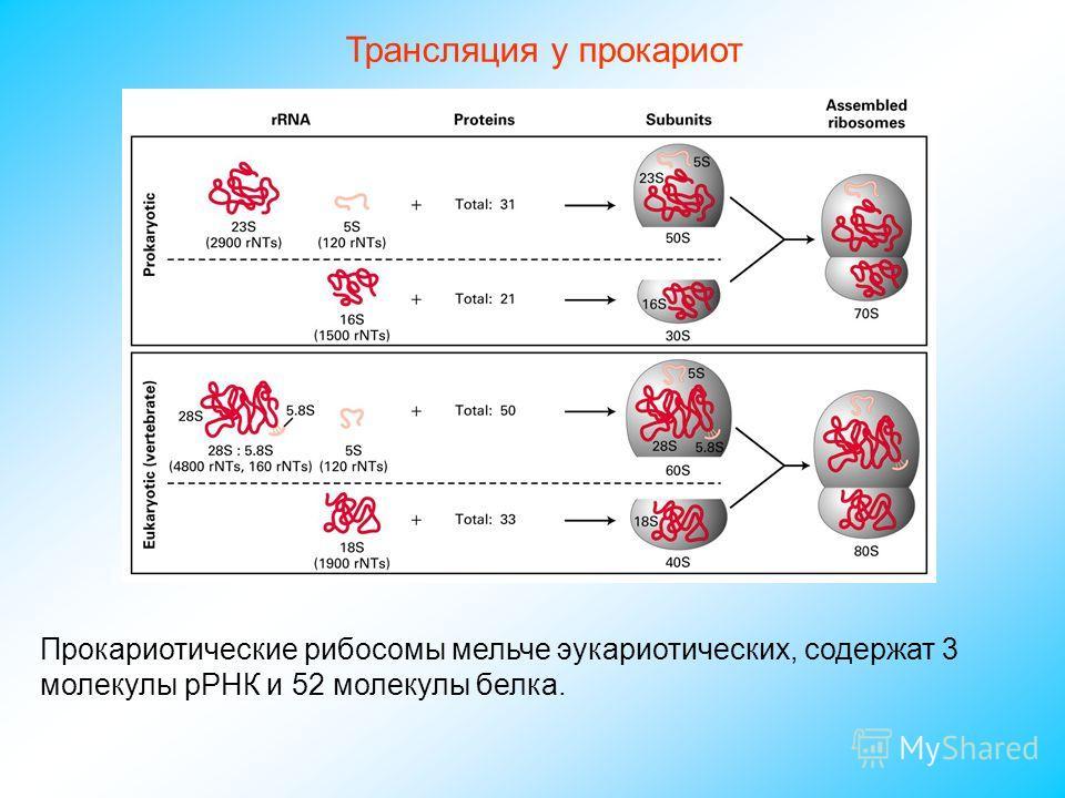 Трансляция у прокариот Прокариотические рибосомы мельче эукариотических, содержат 3 молекулы рРНК и 52 молекулы белка.