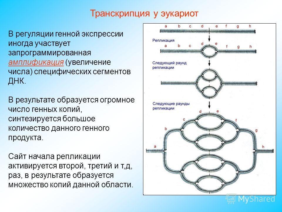 В регуляции генной экспрессии иногда участвует запрограммированная амплификация (увеличение числа) специфических сегментов ДНК. В результате образуется огромное число генных копий, синтезируется большое количество данного генного продукта. Сайт начал