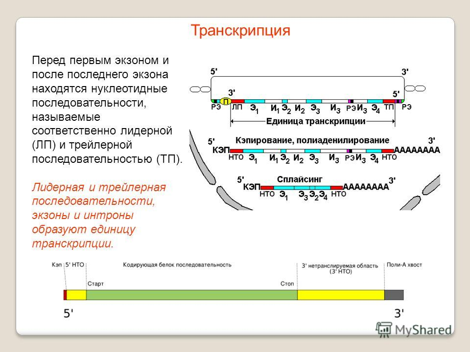 Перед первым экзоном и после последнего экзона находятся нуклеотидные последовательности, называемые соответственно лидерной (ЛП) и трейлерной последовательностью (ТП). Лидерная и трейлерная последовательности, экзоны и интроны образуют единицу транс