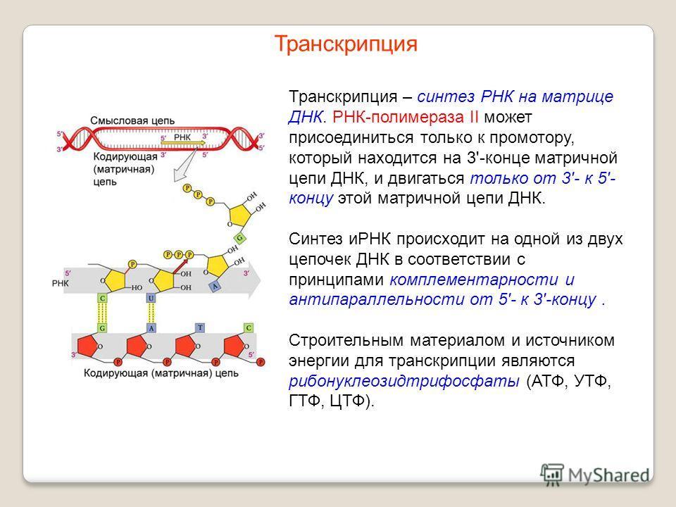 Транскрипция – синтез РНК на матрице ДНК. РНК-полимераза II может присоединиться только к промотору, который находится на 3'-конце матричной цепи ДНК, и двигаться только от 3'- к 5'- концу этой матричной цепи ДНК. Синтез иРНК происходит на одной из д