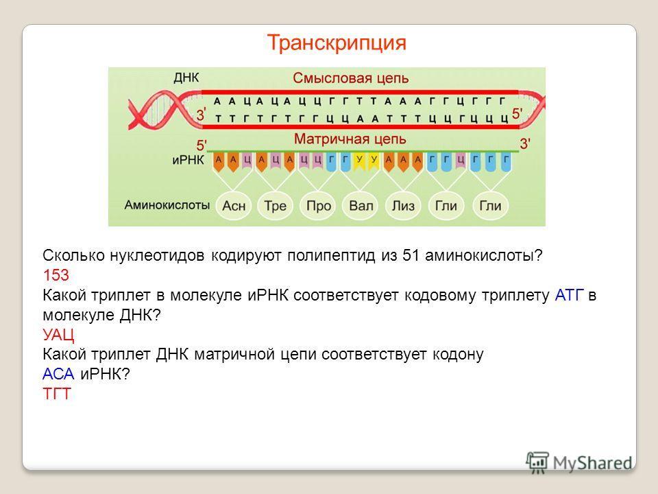 Сколько нуклеотидов кодируют полипептид из 51 аминокислоты? 153 Какой триплет в молекуле иРНК соответствует кодовому триплету АТГ в молекуле ДНК? УАЦ Какой триплет ДНК матричной цепи соответствует кодону АСА иРНК? ТГТ Транскрипция