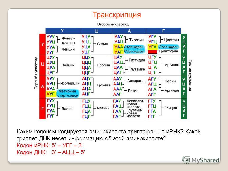 Каким кодоном кодируется аминокислота триптофан на иРНК? Какой триплет ДНК несет информацию об этой аминокислоте? Кодон иРНК: 5 – УГГ – 3 Кодон ДНК: 3 – AЦЦ – 5 Транскрипция