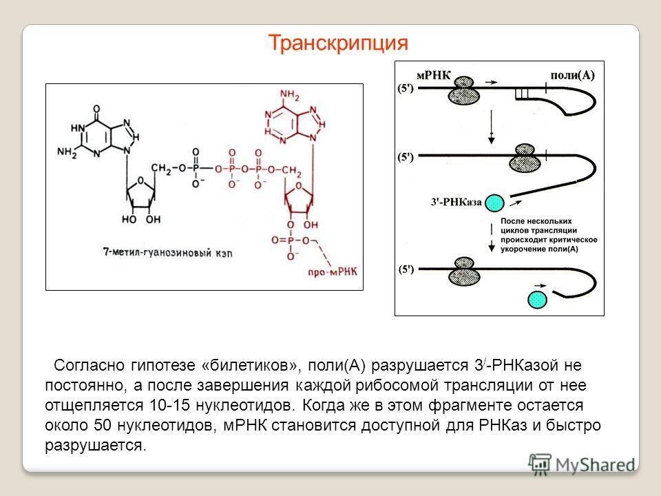 Согласно гипотезе «билетиков», поли(А) разрушается 3 / -РНКазой не постоянно, а после завершения каждой рибосомой трансляции от нее отщепляется 10-15 нуклеотидов. Когда же в этом фрагменте остается около 50 нуклеотидов, мРНК становится доступной для