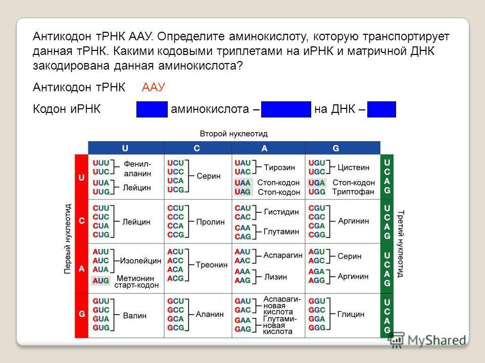 Антикодон тРНК ААУ. Определите аминокислоту, которую транспортирует данная тРНК. Какими кодовыми триплетами на иРНК и матричной ДНК закодирована данная аминокислота? Антикодон тРНК ААУ Кодон иРНК УУА, аминокислота – лейцин, на ДНК – ААТ
