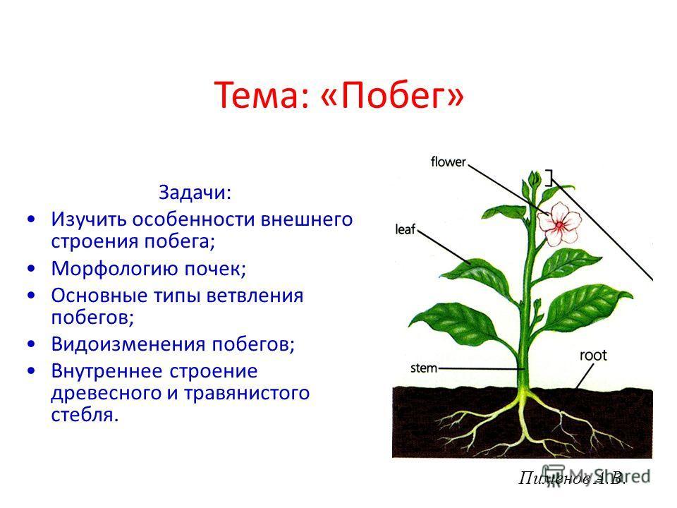 Презентация виды изменения побегов биология 6 класс