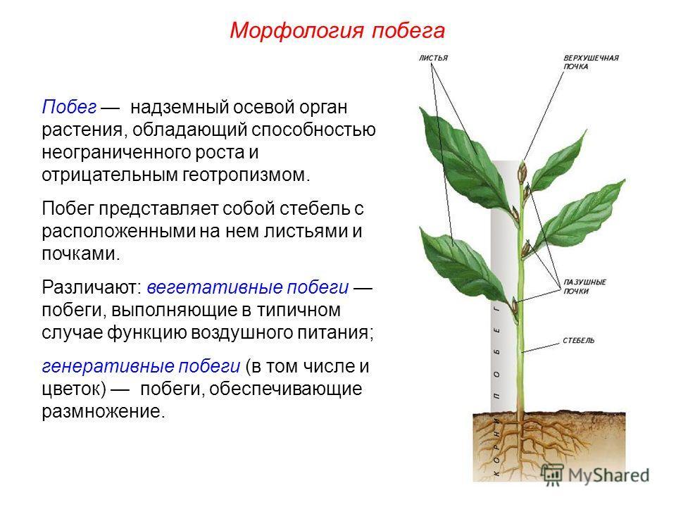 Побег надземный осевой орган растения, обладающий способностью неограниченного роста и отрицательным геотропизмом. Побег представляет собой стебель с расположенными на нем листьями и почками. Различают: вегетативные побеги побеги, выполняющие в типич