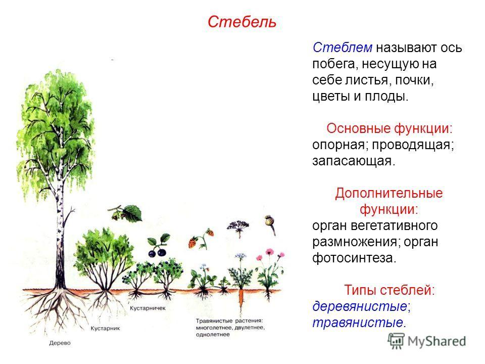 Стеблем называют ось побега, несущую на себе листья, почки, цветы и плоды. Основные функции: опорная; проводящая; запасающая. Дополнительные функции: орган вегетативного размножения; орган фотосинтеза. Типы стеблей: деревянистые; травянистые. Стебель