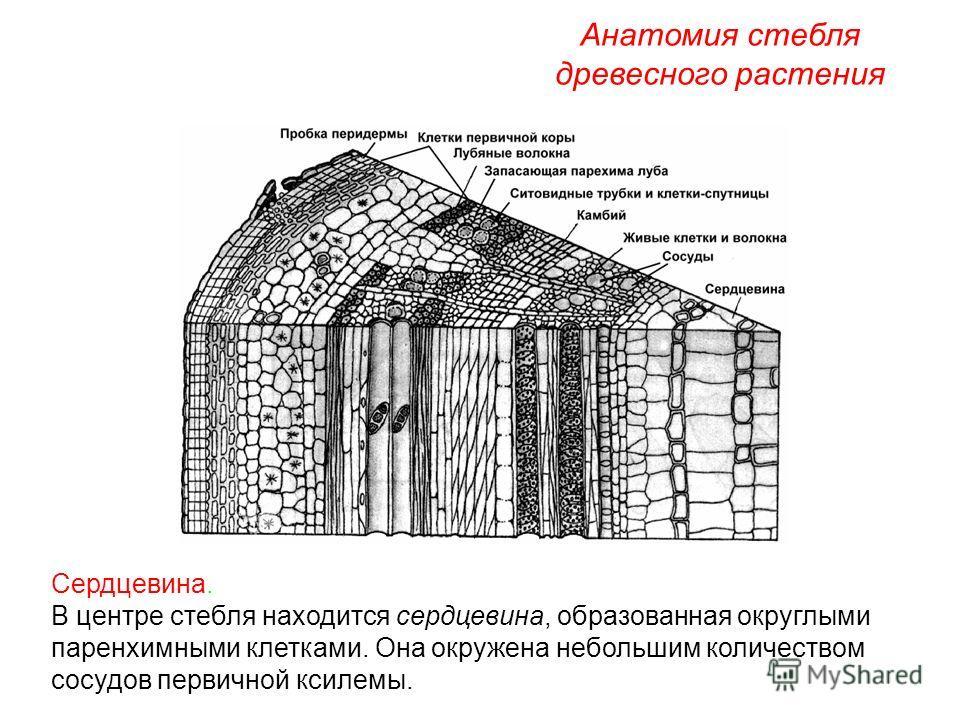 Сердцевина. В центре стебля находится сердцевина, образованная округлыми паренхимными клетками. Она окружена небольшим количеством сосудов первичной ксилемы. Анатомия стебля древесного растения