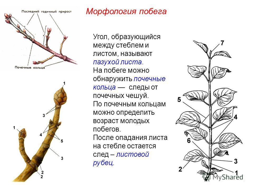 Угол, образующийся между стеблем и листом, называют пазухой листа. На побеге можно обнаружить почечные кольца следы от почечных чешуй. По почечным кольцам можно определить возраст молодых побегов. После опадания листа на стебле остается след – листов