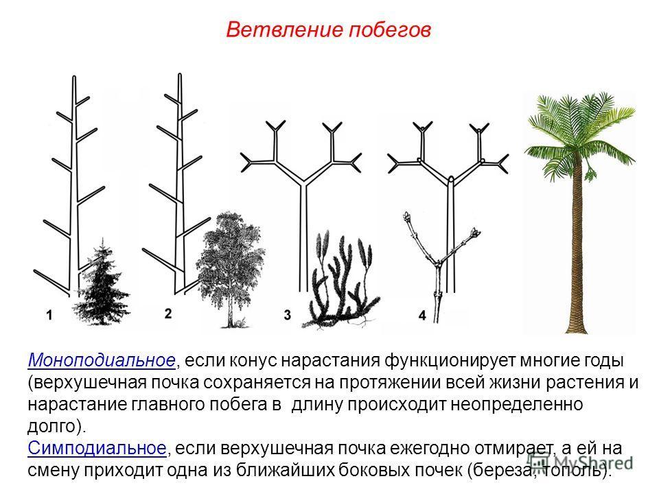 Моноподиальное, если конус нарастания функционирует многие годы (верхушечная почка сохраняется на протяжении всей жизни растения и нарастание главного побега в длину происходит неопределенно долго). Симподиальное, если верхушечная почка ежегодно отми