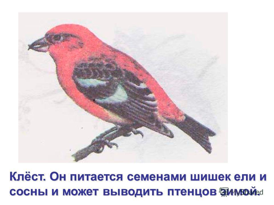 Клёст. Он питается семенами шишек ели и сосны и может выводить птенцов зимой.