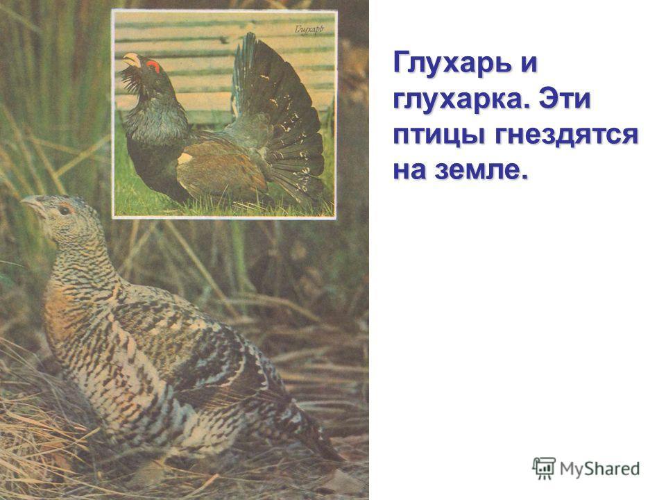 Глухарь и глухарка. Эти птицы гнездятся на земле.