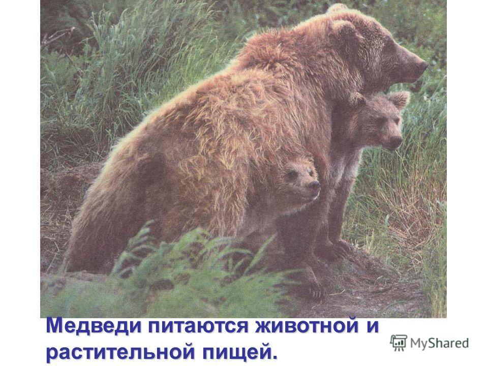 Медведи питаются животной и растительной пищей.