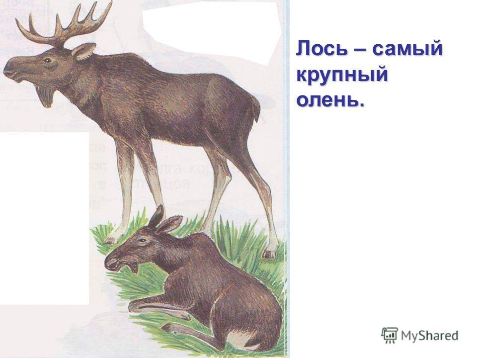 Лось – самый крупный олень.