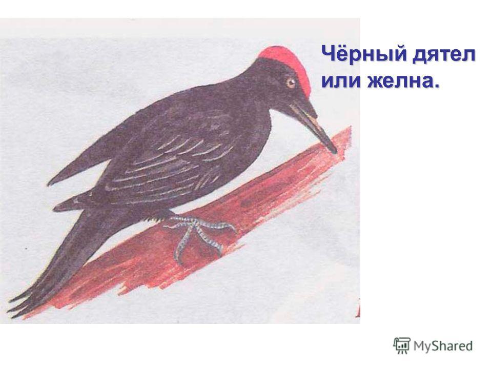 Чёрный дятел или желна.