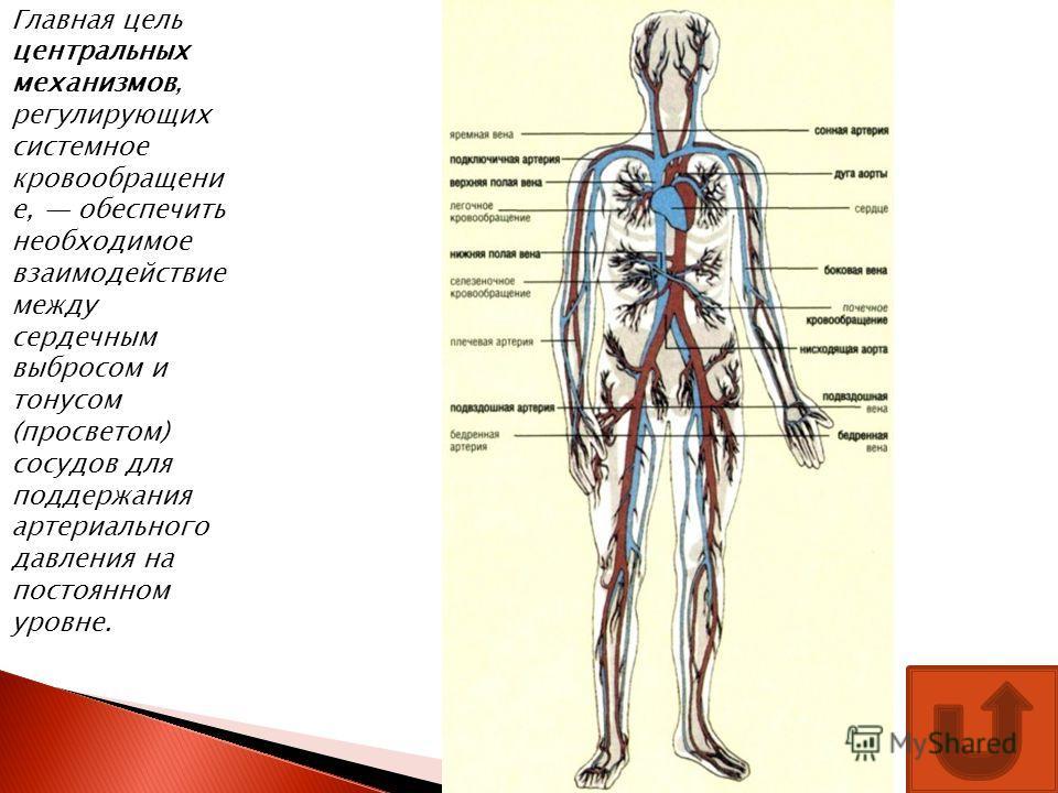 Главная цель центральных механизмов, регулирующих системное кровообращени е, обеспечить необходимое взаимодействие между сердечным выбросом и тонусом (просветом) сосудов для поддержания артериального давления на постоянном уровне.