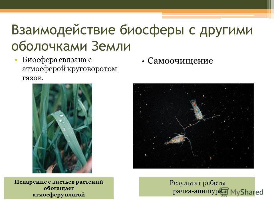 Взаимодействие биосферы с другими оболочками Земли Биосфера связана с атмосферой круговоротом газов. Испарение с листьев растений обогащает атмосферу влагой Самоочищение Кристально чистая байкальская вода Результат работы рачка-эпишура