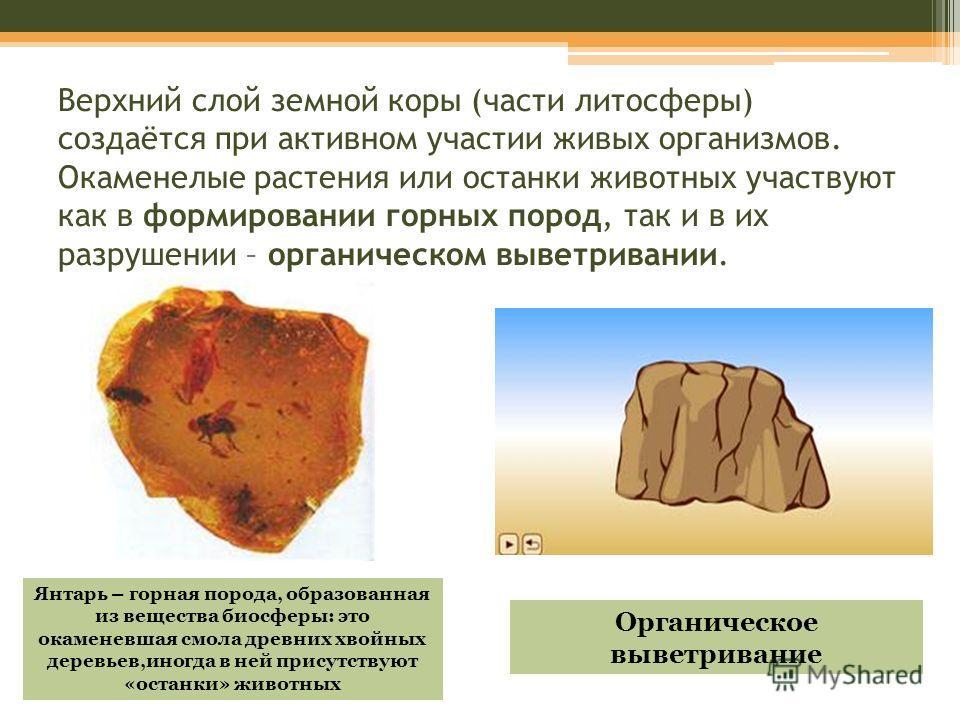 Верхний слой земной коры (части литосферы) создаётся при активном участии живых организмов. Окаменелые растения или останки животных участвуют как в формировании горных пород, так и в их разрушении – органическом выветривании. Янтарь – горная порода,