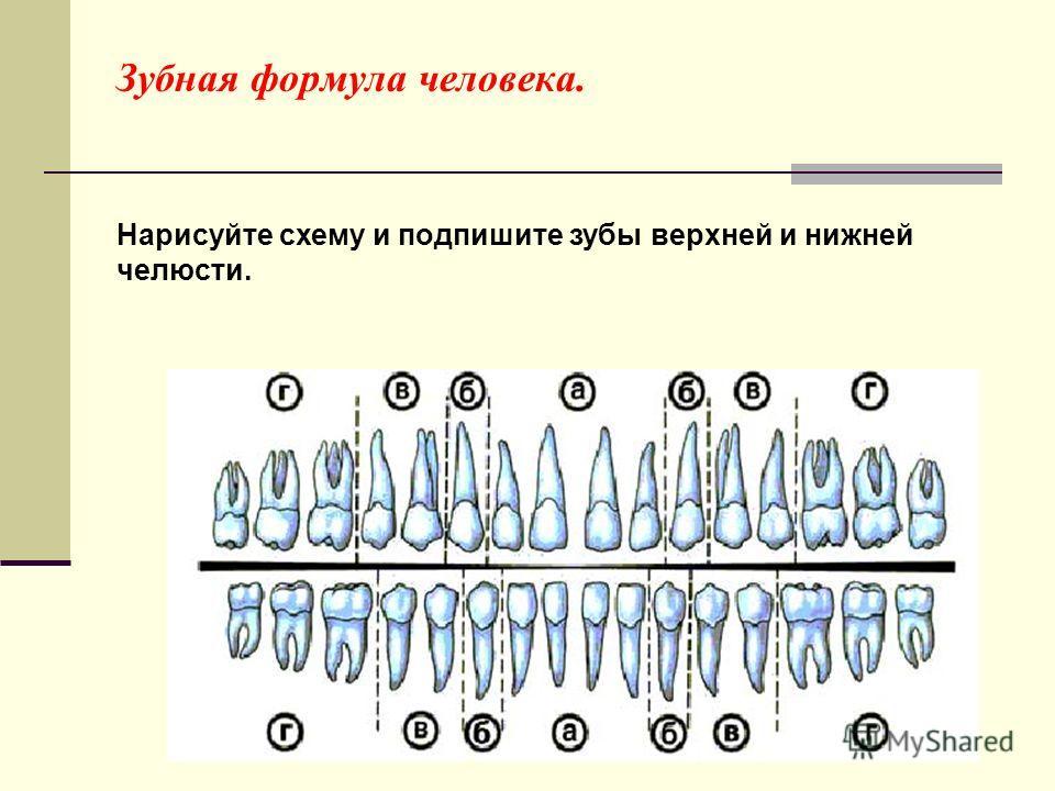 Зубная формула человека.