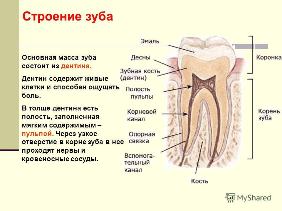 Основная масса зуба состоит из дентина. Дентин содержит живые клетки и способен ощущать боль. В толще дентина есть полость, заполненная мягким содержимым – пульпой. Через узкое отверстие в корне зуба в нее проходят нервы и кровеносные сосуды. Строени