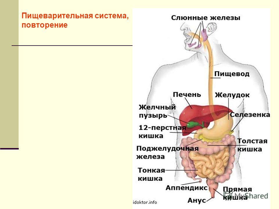 Пищеварительная система, повторение