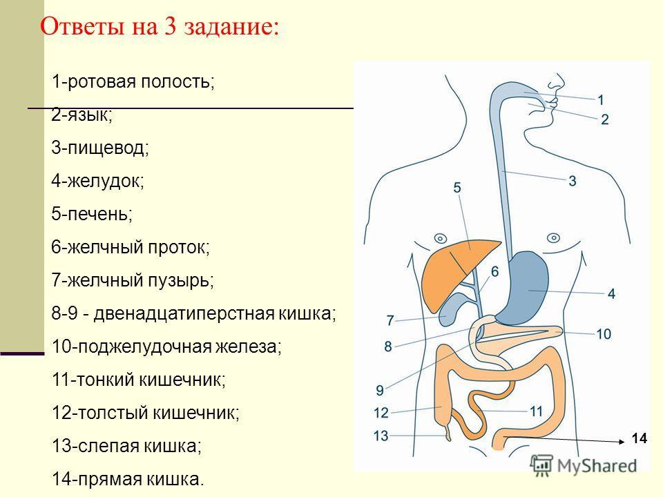 Ответы на 3 задание: 1-ротовая полость; 2-язык; 3-пищевод; 4-желудок; 5-печень; 6-желчный проток; 7-желчный пузырь; 8-9 - двенадцатиперстная кишка; 10-поджелудочная железа; 11-тонкий кишечник; 12-толстый кишечник; 13-слепая кишка; 14-прямая кишка. 14