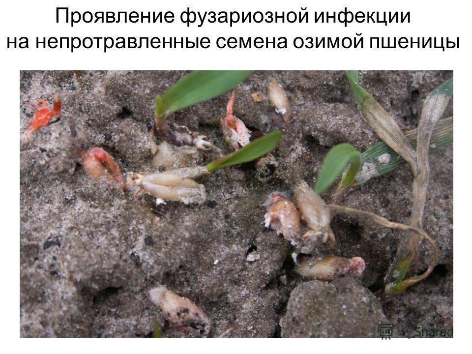 Проявление фузариозной инфекции на непротравленные семена озимой пшеницы