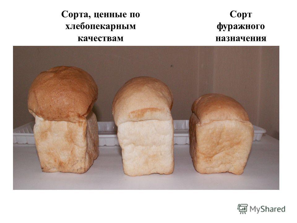 Сорта, ценные по хлебопекарным качествам Сорт фуражного назначения