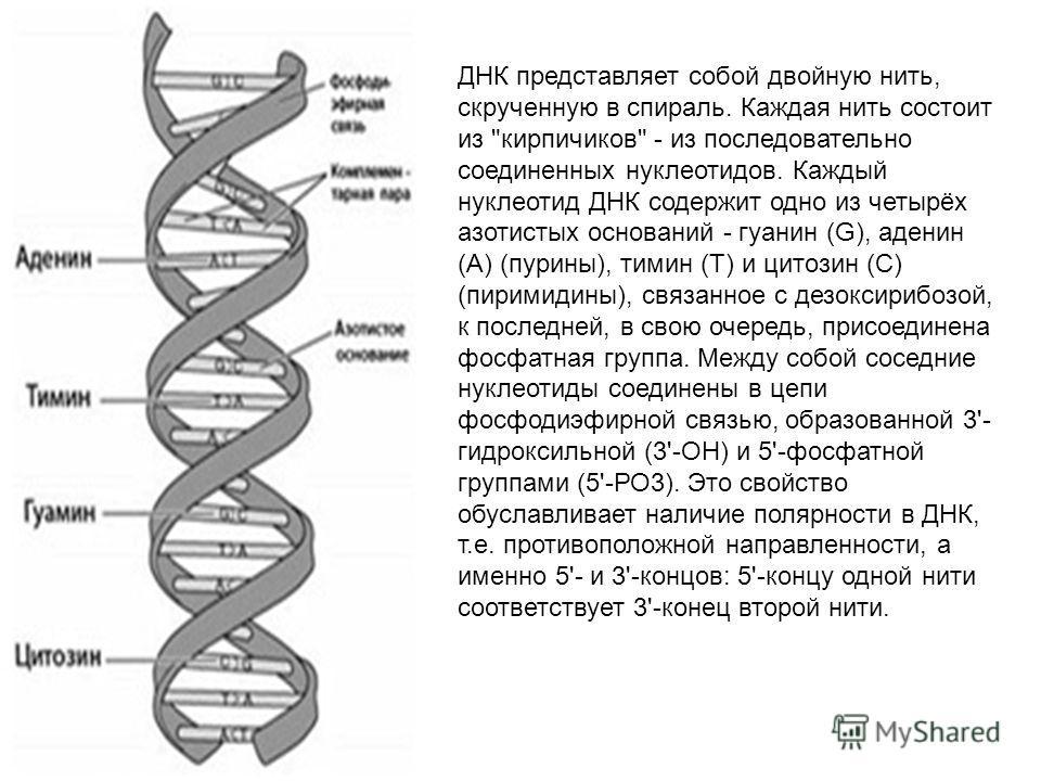 ДНК представляет собой двойную нить, скрученную в спираль. Каждая нить состоит из