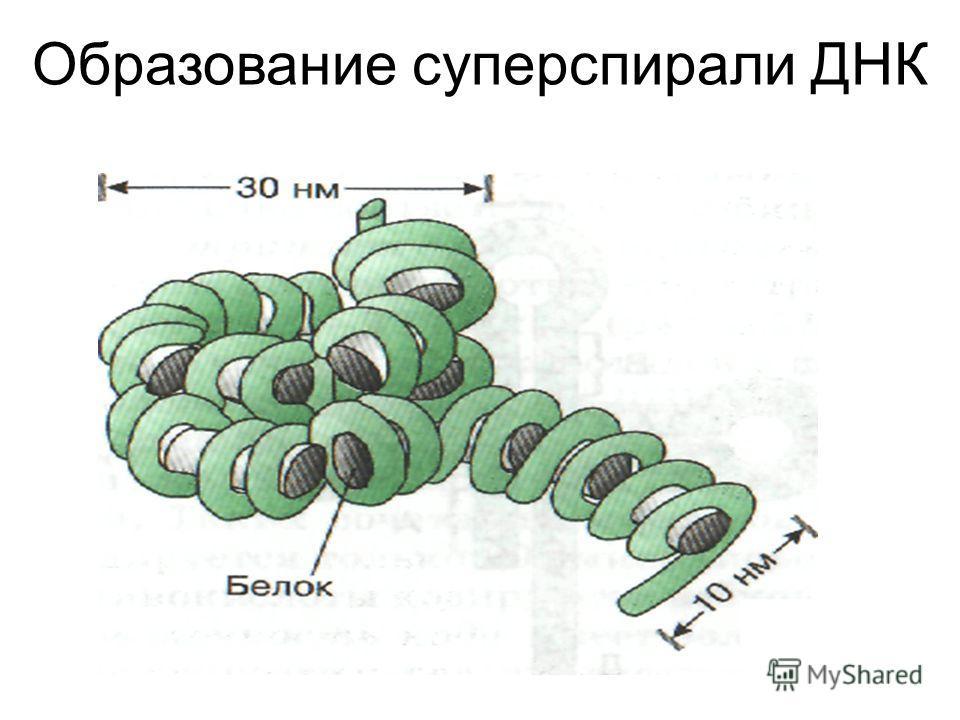 Образование суперспирали ДНК