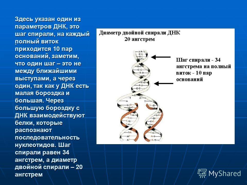 Здесь указан один из параметров ДНК, это шаг спирали, на каждый полный виток приходится 10 пар оснований, заметим, что один шаг – это не между ближайшими выступами, а через один, так как у ДНК есть малая бороздка и большая. Через большую бороздку с Д