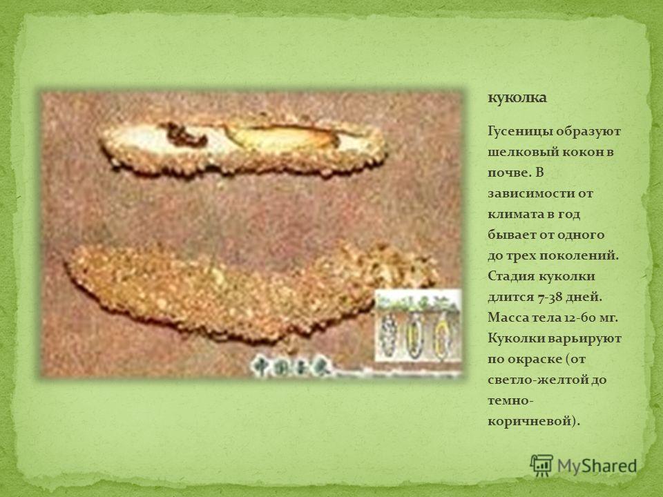 Гусеницы образуют шелковый кокон в почве. В зависимости от климата в год бывает от одного до трех поколений. Стадия куколки длится 7-38 дней. Масса тела 12-60 мг. Куколки варьируют по окраске (от светло-желтой до темно- коричневой).