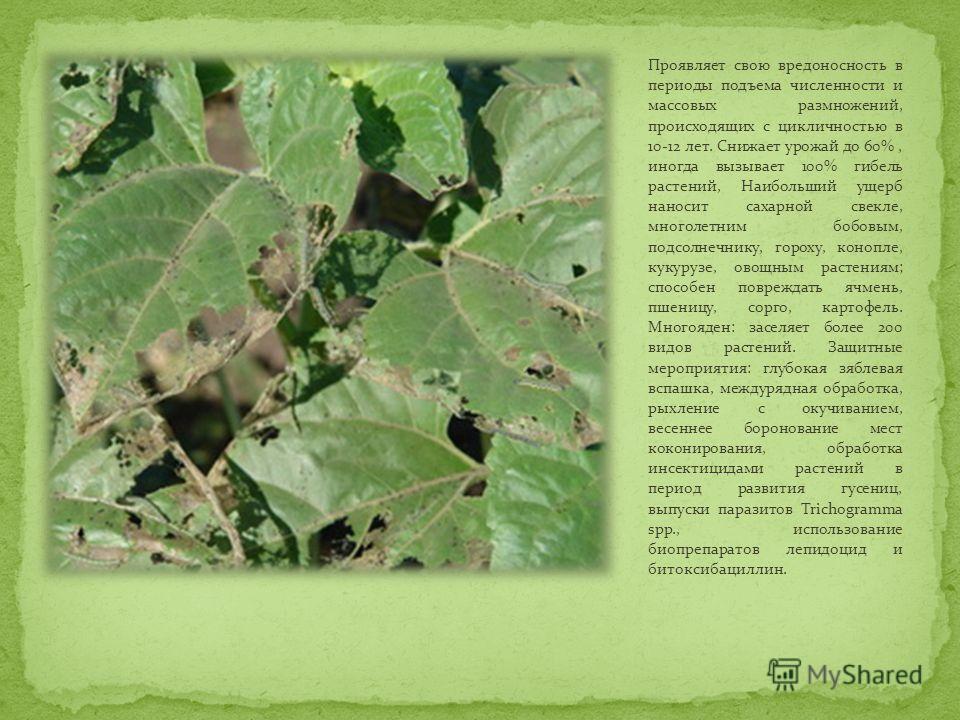 Проявляет свою вредоносность в периоды подъема численности и массовых размножений, происходящих с цикличностью в 10-12 лет. Снижает урожай до 60%, иногда вызывает 100% гибель растений, Наибольший ущерб наносит сахарной свекле, многолетним бобовым, по