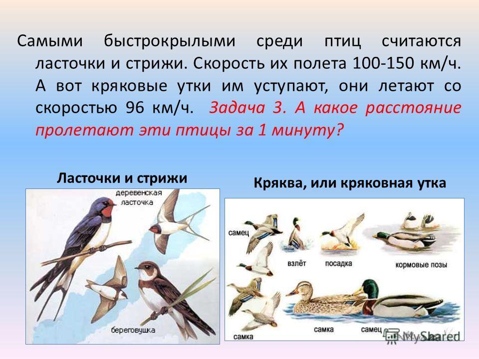 Самыми быстрокрылыми среди птиц считаются ласточки и стрижи. Скорость их полета 100-150 км/ч. А вот кряковые утки им уступают, они летают со скоростью 96 км/ч. Задача 3. А какое расстояние пролетают эти птицы за 1 минуту? Ласточки и стрижи Кряква, ил