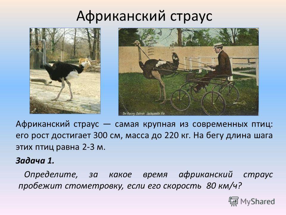 Африканский страус Африканский страус самая крупная из современных птиц: его рост достигает 300 см, масса до 220 кг. На бегу длина шага этих птиц равна 2-3 м. Задача 1. Определите, за какое время африканский страус пробежит стометровку, если его скор