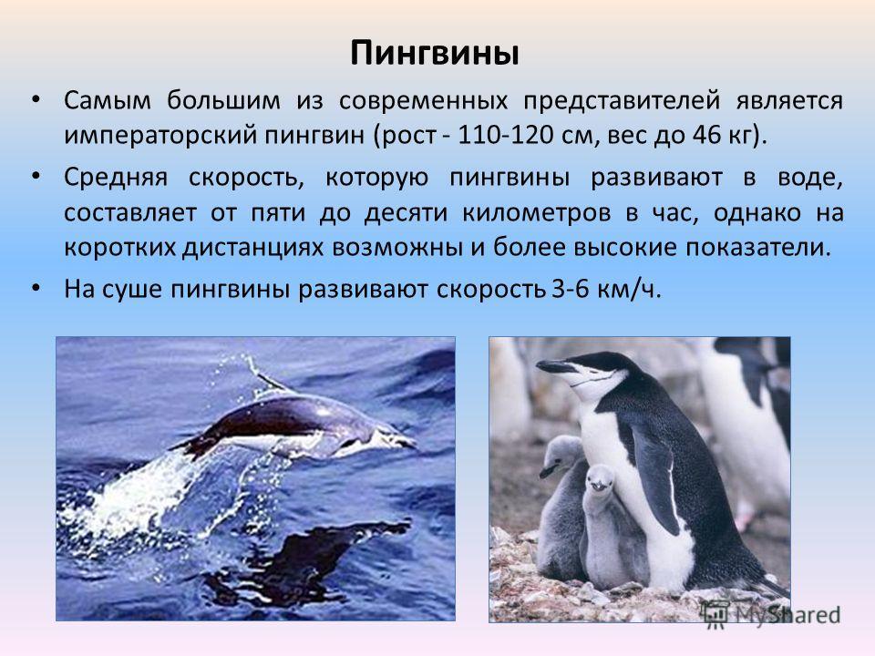 Пингвины Самым большим из современных представителей является императорский пингвин (рост - 110-120 см, вес до 46 кг). Средняя скорость, которую пингвины развивают в воде, составляет от пяти до десяти километров в час, однако на коротких дистанциях в