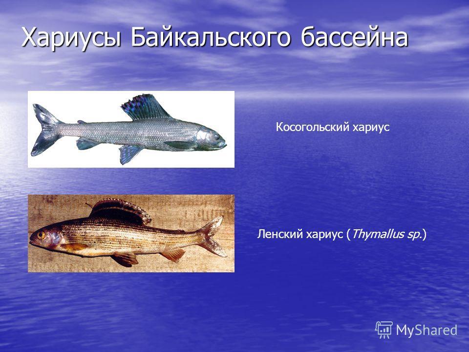 Хариусы Байкальского бассейна Ленский хариус (Thymallus sp.) Косогольский хариус
