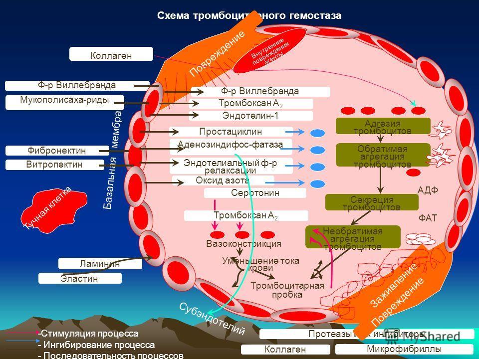 Схема тромбоцитарного гемостаза -Стимуляция процесса - Ингибирование процесса - Последовательность процессов Тучная клетка Базальная мембрана Коллаген Мукополисаха-риды Ф-р Виллебранда Фибронектин Витропектин Ламинин Эластин Протеазы и их ингибиторы
