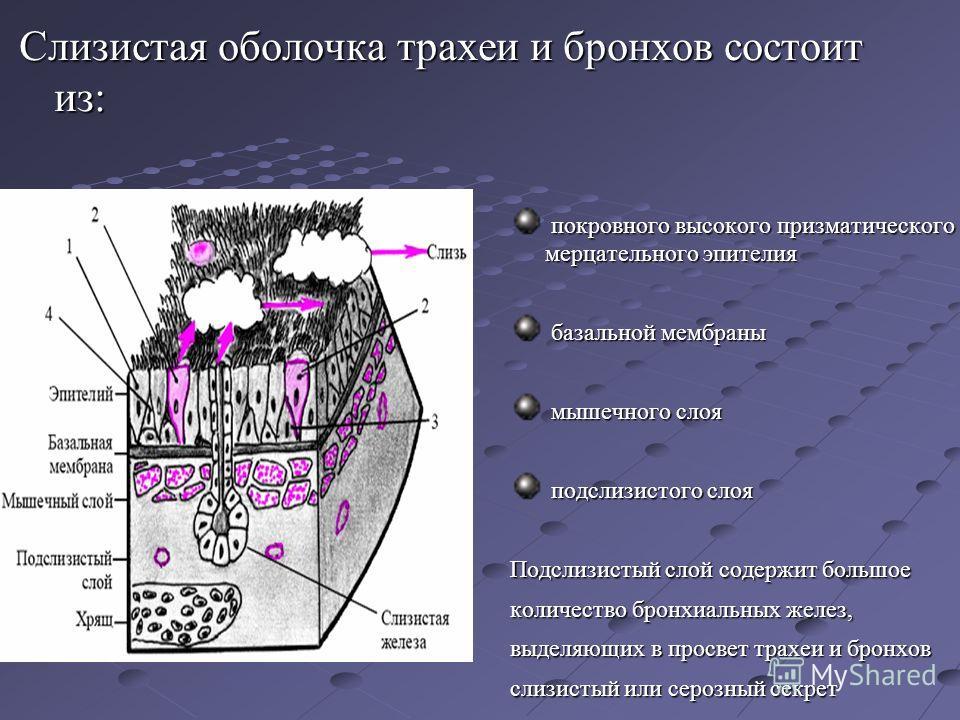 Слизистая оболочка трахеи и бронхов состоит из: покровного высокого призматического мерцательного эпителия покровного высокого призматического мерцательного эпителия базальной мембраны базальной мембраны мышечного слоя мышечного слоя подслизистого сл