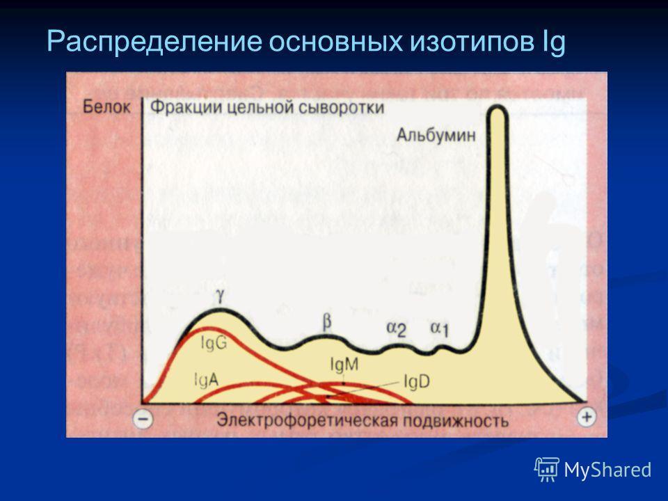 Распределение основных изотипов Ig